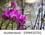 pink phalaenopsis orchid flower   Shutterstock . vector #1098410702
