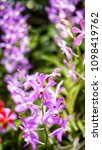 the bloom orchids in the garden ...   Shutterstock . vector #1098419762