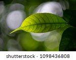 green leave branchs in back...   Shutterstock . vector #1098436808