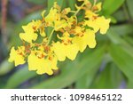 yellow orchid on background   Shutterstock . vector #1098465122