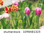 beautiful blossoming tulips... | Shutterstock . vector #1098481325