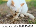cute white cat  outdoors   Shutterstock . vector #1098506132