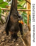 Small photo of Fruit bat while sleeping, Wahlbergs epauletted, epomophorus wahlberg, is a species of megabat Pteropodidae in the family who is in South Africa.