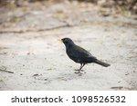 common or eurasian blackbird.... | Shutterstock . vector #1098526532