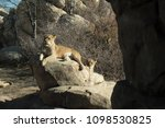 Lion And Two Lionesses Sitting...