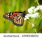 monarch butterfly on white... | Shutterstock . vector #1098538052