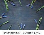 muscari flowers on the dark... | Shutterstock . vector #1098541742