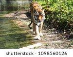 siberian amur tiger in the zoo  ... | Shutterstock . vector #1098560126