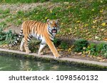 siberian amur tiger in the zoo  ... | Shutterstock . vector #1098560132