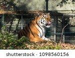 siberian amur tiger in the zoo  ... | Shutterstock . vector #1098560156