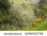 flora of gran canaria  ... | Shutterstock . vector #1098593798