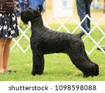 giant schnauzer showing at akc...   Shutterstock . vector #1098598088