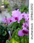 pink orchid and garden...   Shutterstock . vector #1098613052