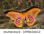 suraka silk moth   antherina... | Shutterstock . vector #1098626612