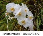 white wet orchids   Shutterstock . vector #1098648572