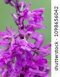 flower of dactylorhiza majalis  ...   Shutterstock . vector #1098656042