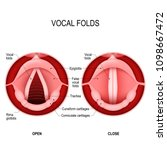 vocal folds. the human voice....