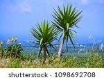 dracaena or dragon tree  lat....   Shutterstock . vector #1098692708