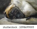 Spider Monkey Sleeping On A Rock