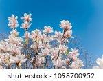 Spring Blossom And Blue Sky