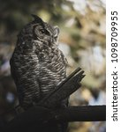 grumpy great horned owl waking... | Shutterstock . vector #1098709955