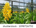 yellow orchid in the flower farm   Shutterstock . vector #1098726752