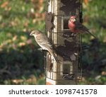 Female And Male House Finches...