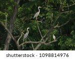 grey heron  ardea cinerea       ... | Shutterstock . vector #1098814976
