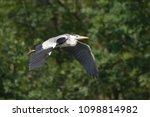 grey heron  ardea cinerea       ... | Shutterstock . vector #1098814982