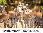 impalas herd in liwonde n.p.  ... | Shutterstock . vector #1098821042
