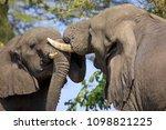 fighting elephants in liwonde n.... | Shutterstock . vector #1098821225