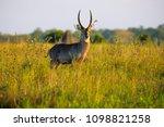 waterbuck antelope in liwonde n.... | Shutterstock . vector #1098821258