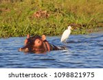 hippopotamus  hippos  in... | Shutterstock . vector #1098821975