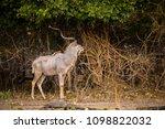 kudu in liwonde n.p.   malawi | Shutterstock . vector #1098822032