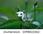 white flower of chili on tree... | Shutterstock . vector #1098822362