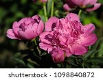close up of pink peony  paeony  ... | Shutterstock . vector #1098840872