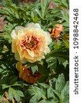 lemoinei peony  paeonia x... | Shutterstock . vector #1098842468