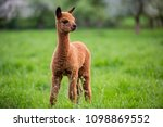 portrait of a young alpaca  a... | Shutterstock . vector #1098869552