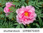 moutan tree peony  paeonia... | Shutterstock . vector #1098870305