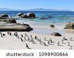 beautiful jackass penguins on... | Shutterstock . vector #1098900866