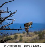 An osprey stretches her wing near Dubois, Wyoming, USA; May 23, 2018