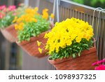 Colorful Petunias Flowers In A...