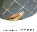 common kestrel  falco...   Shutterstock . vector #1098999995