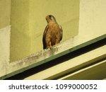 common kestrel  falco...   Shutterstock . vector #1099000052