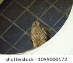common kestrel  falco...   Shutterstock . vector #1099000172