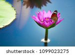 Lotus Flowers Or Water Lily...