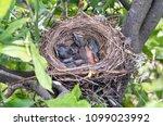nestling  fledgling  baby bird | Shutterstock . vector #1099023992