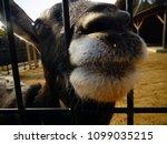 Cute Lovely Goat Japanese Zoo - Fine Art prints