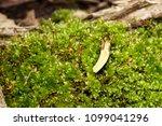 moss covered fallen trees along ... | Shutterstock . vector #1099041296