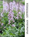 dictamnus albus known as... | Shutterstock . vector #1099050026
